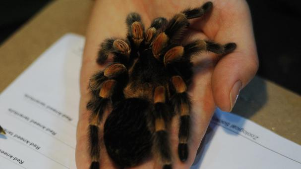 A 999 caller feared that a large spider had invaded her house