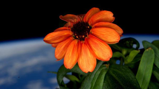 A zinnia flower on the International Space Station (Scott Kelly/Nasa via AP)