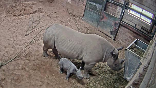 An Eastern black rhino named Ema Elsa with her newborn calf