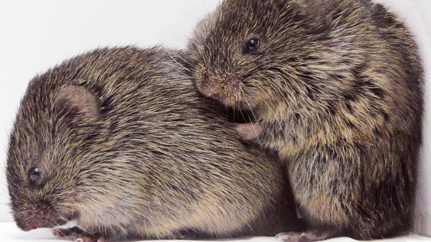 The prairie vole is capable of consoling behaviour that previously has only been known in humans and a few higher animals, such as chimpanzees (Emory University/PA)