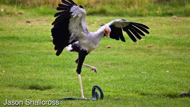 A secretary bird named Madeleine attacking his prey. (JASON SHALLCROSS)