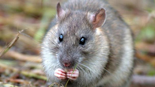 Rats were reported at a pub and in an online grocery delivery