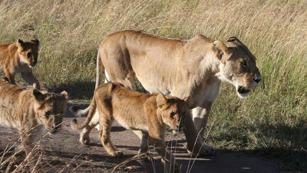 The lions were seen roaming residential areas in Nairobi