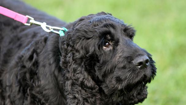 Diesel the cocker spaniel who has ballooned to nearly six stone in weight (PDSA / PA Wire)