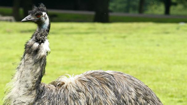 The emu evaded police for days