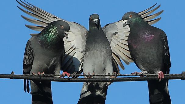 Pigeons are still used to transmit information.