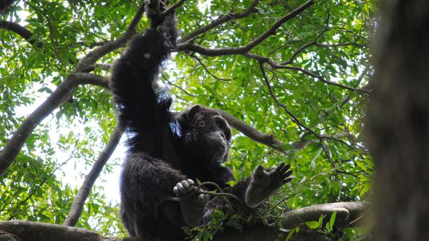 Wild chimpanzees can spontaneously use sticks or stones to fish for termites, extract fruit or honey, or crack nuts