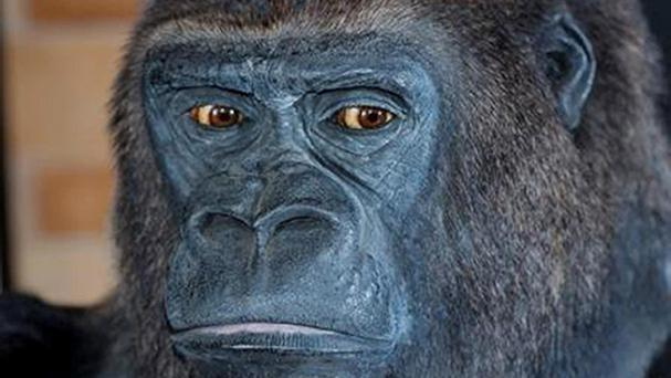 The human male chromosome was found to be similar to a gorilla's