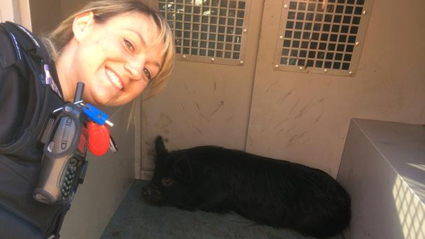 Pc Clement with the miniature black pig found wandering the streets of Havant (Hampshire Police/PA Wire)