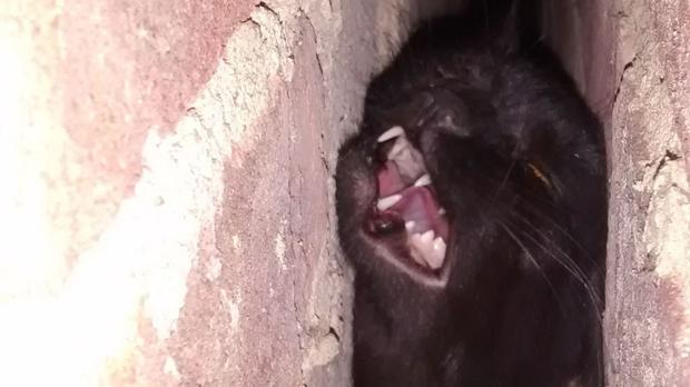 Phoebe the cat was rescued by the local fire service after becoming trapped between two walls (RSPCA/PA Wire)