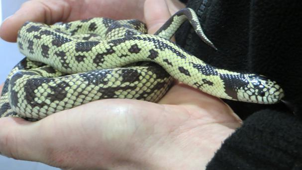 A woman in Leith found Zak the California kingsnake in her cutlery drawer