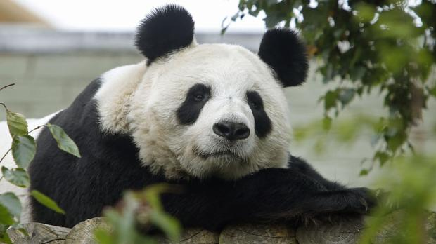 Edinburgh Zoo's pandas are to assist a study into the species' diet
