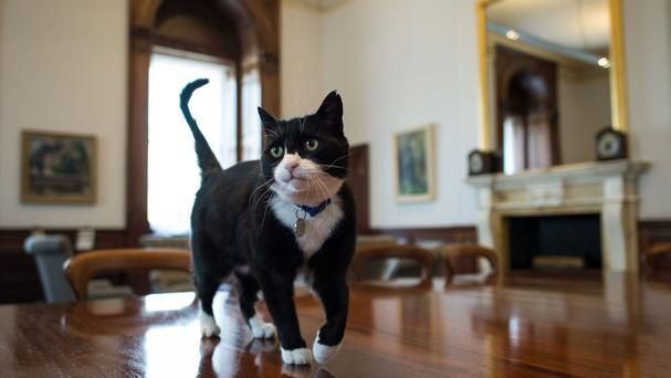 'Chief mouser' Palmerston explores his new surroundings at the Foreign and Commonwealth Office in London