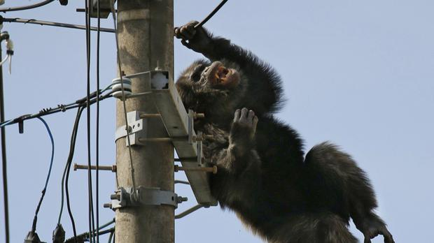 Chacha the chimp climbed up an electricity mast in Sendai, northern Japan (Kyodo News via AP)