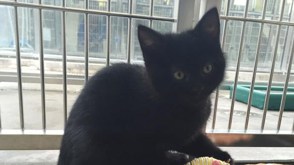Hermaphrodite kitten Bellini who is looking for a new home (Cats Protection/PA)