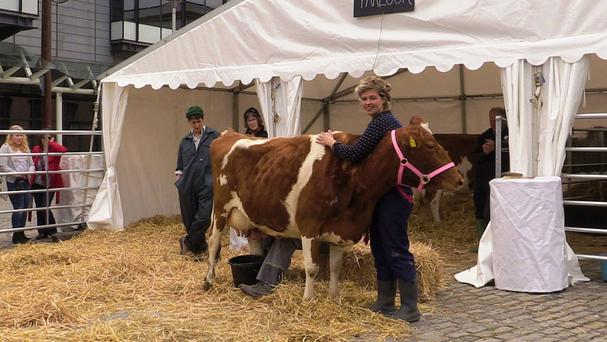Political ecologist and artist Nessie Reid with one of the two Guernsey show cows which have moved into Bristol city centre for five days to raise awareness of farming and food production