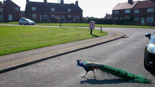 One of the mating peacocks and hens which have ruined the peace of a former pit village
