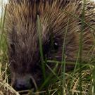 Michael Fabricant MP made the revelation as he urged ministers to better protect hedgehogs