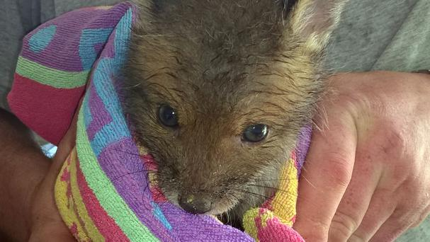 A fox cub was rescued after being found with its head stuck in a peanut butter jar (Creatures in Crisis/PA)