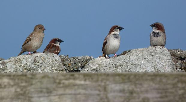 Sparrows form monogamous one-to-one partnerships, but as humans well know, some marriages are more successful than others (Imperial College London/PA)