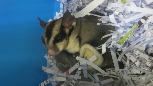 The sugar glider possum is now being cared for by the Scottish SPCA (Scottish SPCA/PA Wire)