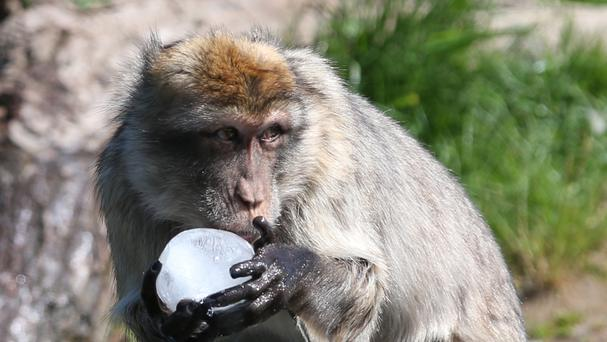 A Barbary macaque enjoys a mixed seed filled ice ball