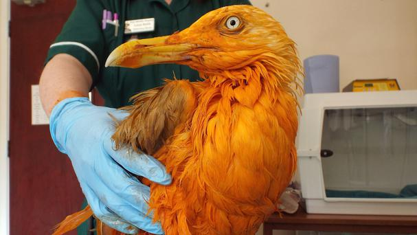A seagull who turned bright orange after he plunged into a vat of chicken tikka masala (Vale Wildlife Hospital/PA)