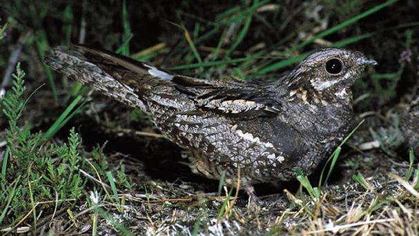 Nightjars are well camouflaged to avoid predators (RSPB)