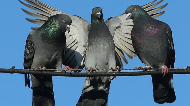 Racing pigeon sells for three times the world record