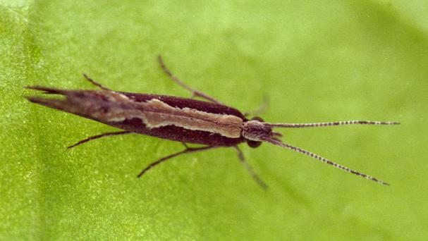 An adult diamondback moth (Rothamsted Research/PA)