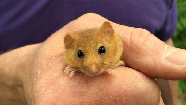 Rare hazel dormice are being released into woodland at the Yorkshire Dales National Park (People's Trust for Endangered Species/PA)