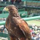 Rufus the Harris hawk helps to keep birds and vermin away