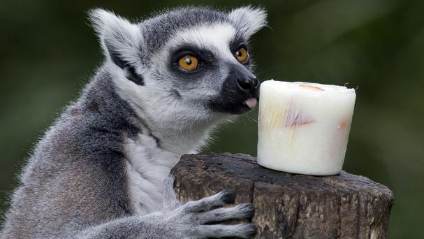 A lemur licks a block of frozen yogurt and fruit to refresh itself in Rome's Bioparco zoo