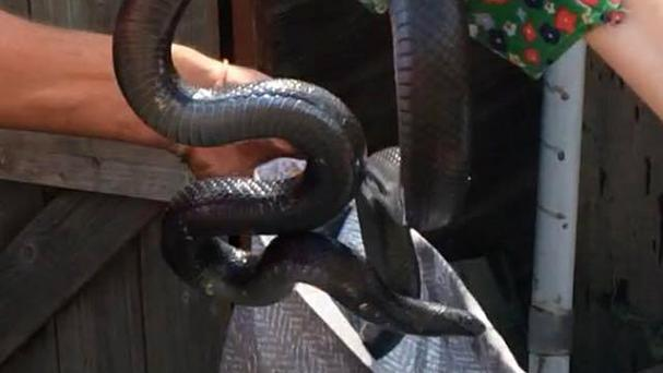 A 4ft black snake was found in a back garden in Ipswich