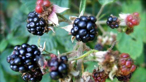 The Woodland Trust has only received 31 reports of ripe blackberries so far to its Nature's Calendar survey (Woodland Trust/PA Wire)