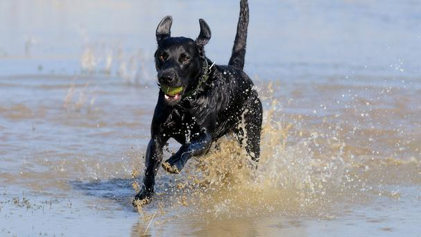 Labradors are most commonly affected by limber tail