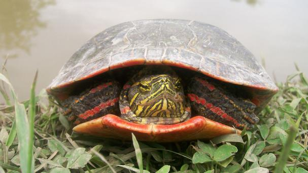 A painted turtle: it is believed dinosaurs had enhanced red-colour vision