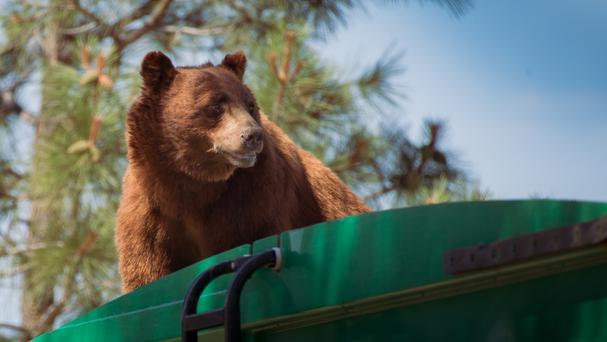 A bear hitches a ride on top of a rubbish truck in Los Alamos National Labs in Los Alamos, New Mexico (Evan Welsch via AP)