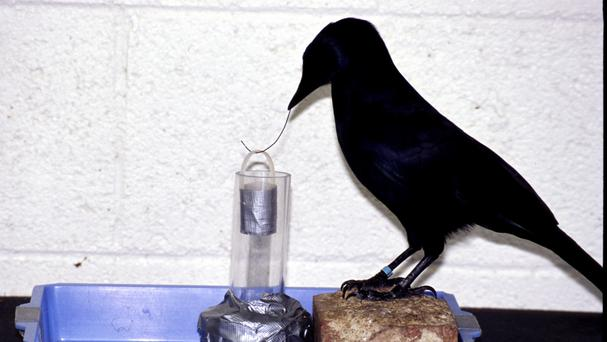 Betty the crow astonished scientists by bending a straight wire into a hook and using it to extract food from a container