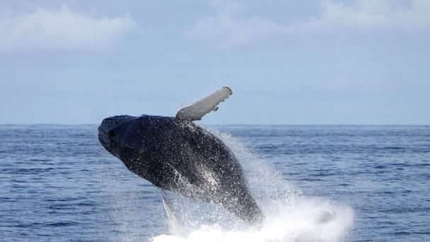 A humpback whale off the coast of Kerry in Ireland