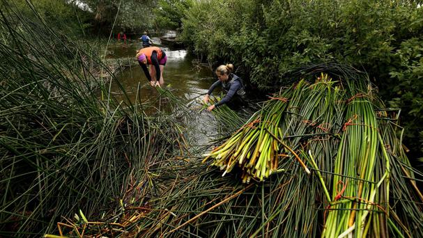 Anna Toulson and Gemma Whittle from Waveney Rush harvest bulrushes along the banks of the River Waveney in Suffolk.