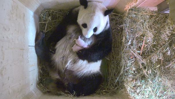 Yang Yang the panda cradles her new cubs (Tiergarten Schoenbrunn via AP)