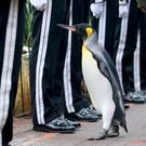 King penguin Sir Nils Olav inspects soldiers of the King of Norway's Guard at Edinburgh Zoo to mark his promotion and new title of Brigadier