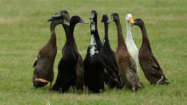 The ducks were stolen from a farm in Aberdeenshire