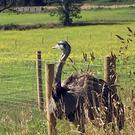 A rhea on the loose in South Lanarkshire has been captured by the Scottish SPCA
