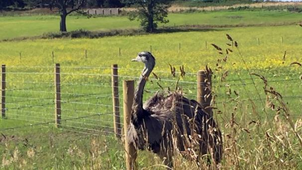 A rhea that has been on the loose for a month in a field near to Wilsontown, Forth, before it was captured by the Scottish SPCA (PA/Scottish SPCA)