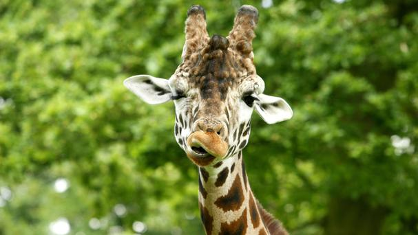 Until now, only a single species of giraffe made up of several sub-species had been recognised