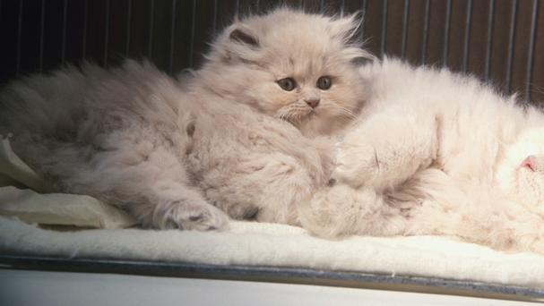 Flat-faced cat breeds such as Persian can be more likely to have breathing difficulties, according to research