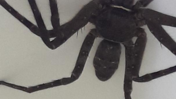 The huntsman spider found in Dumbarton (Scottish SPCA/PA)