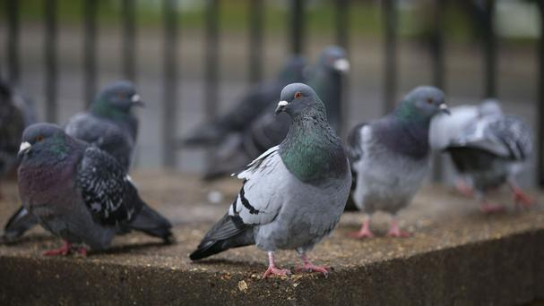 Pigeons can depose a leader if he or she is not up to scratch, research suggests